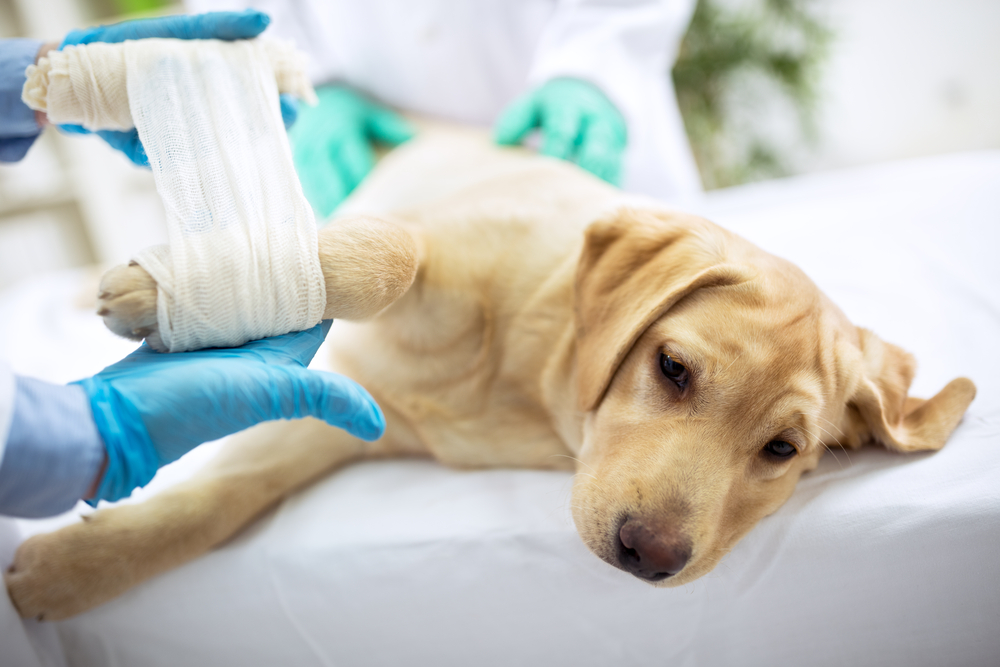 Can Dogs Drink Water Before Surgery